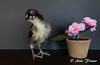 Strike a pose! (Anne Marie Fraser) Tags: black flower cute chicken pose adorable chick australorp