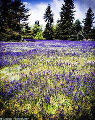 A Field of Flowers II (mjardeen) Tags: landscape washington nikon focus purple sony wa mf tacoma 24mm manual nikkor f28 a7ii nikcolorefex landscapesshotinportraitformat a7m2 ilce7m2