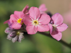 mozirski-gaj_24 (carlo) Tags: flowers olympus slovenia slovenija fiore botanicalgarden omd em1 ortobotanico giardinobotanico mozirje mozirskigaj