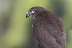 Brown Goshawk (BlueberryAsh) Tags: birds nikon ccc raptors ballarat birdsofprey australianbird browngoshawk fullflight nikond750