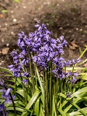 Bluebells at Clyne Gardens, Swansea 2016 04 20 #11 (Gareth Lovering Photography 2,000,000 views.) Tags: flowers gardens bluebells wales olympus lovering clyne clyneinbloom swanseainbloom