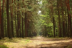spring in the forest (JoannaRB2009) Tags: las trees light shadow sunlight green nature pine forest spring sand view path poland polska wiosna lodzkie dzkie