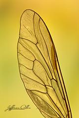Asa Fly (Jefferson Allan - Photographer) Tags: macro natureza infrared paisagens fotografiacampinas empilhamentodefoco jeffersonallan fotografojeffersonallan