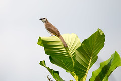 20160404-1DX_4436 (shutterblades) Tags: birds bulbul gardensbythebay canon1dx canon100400lmkii