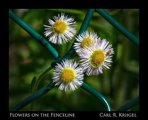 21 Flowers on the Fenceline