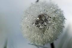 Pusteblume (thomas druyen) Tags: outdoor dandelion makro wassertropfen schrfentiefe lwenzahn pusteblume