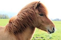 IMG_9983 (fraroan) Tags: paarden ponys tolt rijden paardrijden ijslander ijslandse ijslanders fraroan telgang westbemster