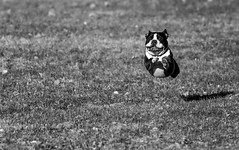 I'm coming honey (Art-hax) Tags: dog chien smiling animal canon fun happy blackwhite jumping noiretblanc joy running course 7d joie noirblanc heureux