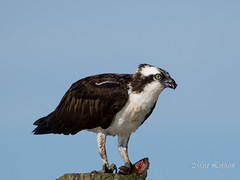 Osprey having dinner (Maja's Photography) Tags: fish canada nature water birds closeup canon fishing wildlife catfish osprey
