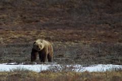 Spring Grizzly (blkwolf1017) Tags: bear alaska spring grizzly tundra ursusarctos grizzlybear denalinationalpark sigma300mm28 canon50d sigma20x