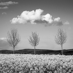 Kalter Frhling (Bluespete) Tags: bw test cloud tree monochrome germany square spring nikon cc psi raps baum frhling schwarzweis d7100 petersieling 6322425 32143153 bluespete