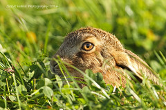 Young Leveret (Steve Ward Nature) Tags: