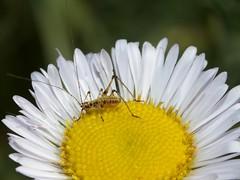Katydid_on_Daisy_5867a (JKehoe_Photos) Tags: flower bug insect outdoors katydid californianative extensiontube santaclaracounty erigeronglaucus seasidedaisy johnjkehoephotography