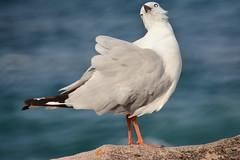 Fabulous Gull (Luke6876) Tags: bird animal wildlife gull australianwildlife silvergull