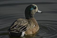 American Wigeon-  8066 (Bill Gracey 15 Million Views) Tags: color bird nature duck colorful waterfowl americanwigeon anasamericana baldpate santeelakes dabblingduck