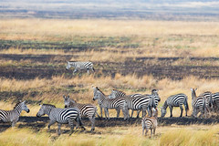 Blurring the Lines  8246 (Dr DAD (Daniel A D'Auria MD)) Tags: tanzania stripes serengeti mammals zebras childrensbooks hoofbeats horsefamily equuszebra thegreatmigration animalsofafrica march2013 childrenswildlifebooksbydanieldauriamd drdadbookscom march2014 whenyouhearhoofbeats zebrasoftheserengeti lyricalrhyme zebrasofafrica rhymingprose september2015