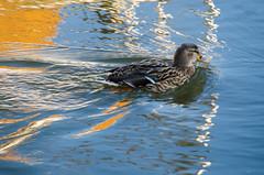 Duck at Cross Deep (Zed.Cat) Tags: duck mallard