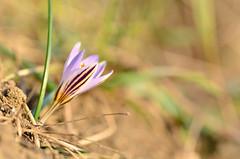 Zafferano selvatico (Crocus biflorus) (Matte Gratta) Tags: primavera fiore selvatico croco zafferano