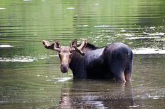 _DW24027-2.jpg (Upstate Dave) Tags: majorplaces mammals moose targheenationalforest yellowstone 2015