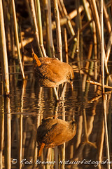 Winterkoning / Wren -2185 (rob.bremer) Tags: reflection bird nature outdoor wildlife dunes vogels aves wren duinen riet castricum vogel kennemerduinen reflectie troglodytestroglodytes duinlandschap winterkoning infiltratiegebied eurasianwren noordhollandsduinreservaat