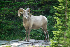 Bighorn sheep ram (naturenps) Tags: bighornsheep nps nationalparkservice nature wildlife nationalparks