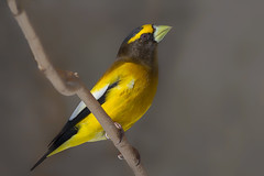 Evening grosbeak (Phiddy1) Tags: ontario canada birds algonquin grosbeak eveninggrosbeak