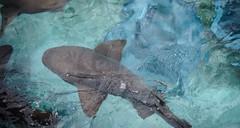 Inot cu rechinii