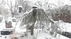 Birds feeding in the storm.... (ineedathis, Keep on Ticking!) Tags: winter snow cars nature fence garden video cardinal junco snowstorm japanesemaple northernmockingbird gingerbreadhouse housesparrow passerdomesticus mockingbird mimuspolyglottos darkeyedjunco tuftedtitmouse cardinaliscardinalis whitethroatedsparrow zonotrichiaalbicollis songsparrow melospizamelodia cardinalis northerncardinal poecileatricapillus baeolophusbicolor housewren troglodytesaedon ornamentaltree weepingatlascedar chickadeeblackcapped whitethroatedsongsparrowzonotrichia