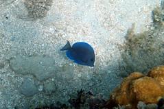 Atlantic Blue Tang (josue_cruz) Tags: ocean blue sea de island underwater caja atlantic snorkelling caribbean isla tang muerto