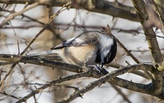 7K8A2397 (rpealit) Tags: bird nature field scenery wildlife east chickadee alumni hatchery blackcapped hackettstown