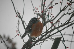 """So Where's this """"Early Spring"""" Some Rodent Promised? (eyriel) Tags: winter snow cold bird nature bush berry berries wildlife"""