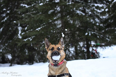 Snowball Catch (audreykristine) Tags: snow creek gold day german shepard