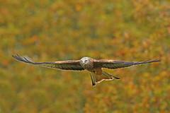 Red Kite (Alan Gutsell) Tags: uk red kite bird nature birds alan photo europe european wildlife raptor birdofprey redkite