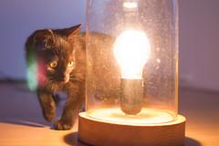 IMG_3199 (BalthasarLeopold) Tags: pet cats pets animal animals cat blackcat mammal kitten feline dof kittens felines blackcats indoorcat dephtoffield scratchpost