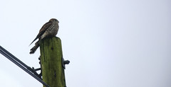 looking for dinner (Tony Shertila) Tags: bird weather wales clouds europe day cloudy britain outdoor wildlife beak feathers raptor sparrowhawk roost bewsycoed