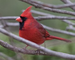 Northern Cardinal (Cardinalis cardinalis) (mckenzie_wilma) Tags: cardinal northerncardinal redbirds birdsofontario
