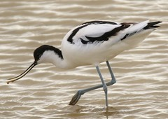 PIED AVOCET (GrahamParryWildlife) Tags: blackandwhite water canon sussex early beak first rye 7d mk2 pied wading avocet wader kentwildlife sigma150600sport grahamparrywildlife