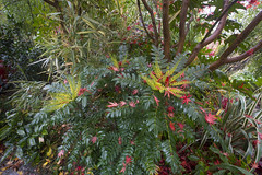 Fallen autumn leaves and flowers of Mahonia japonica 'Charity' (Four Seasons Garden) Tags: charity uk november flowers autumn england colour leaves garden four japanese maple seasons award foliage national deciduous japonica winning walsall mahonia 2015 acers