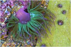 sea anemone (stefan.bauer) Tags: sea water colors spain nikon rocks colorful stones asturias playadelsilencio d7100 farbfroh nikond7100 nearnovellana