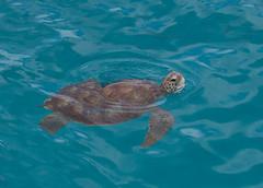 green turtle 1 (david williams5) Tags: turtle shell barbados caribbean seaturtle cheloniamydas greenturtle carapace