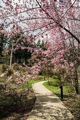 20160306-DSC_6171 (Kay's...) Tags: cherryblossom sakura   wuling wulingfarm