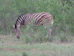 Burchell's zebra (Ujuzi African Travel) Tags: southafrica wildlife safari burchellszebra ngalatentedcamp timbavatireserve ngalagamepreserve