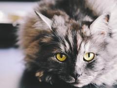 a Cat portrait (mostaphaghaziri) Tags: portrait cat nikon d f micro 28 mm 105 siberian nikkor 7200 d7200