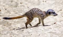 Meerkat Jnr (photoga photography) Tags: nature animals canon wildlife animalkingdomelite