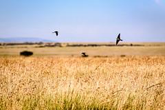 Swallows on the Hunt (MudflapDC) Tags: travel grass birds kenya flight safari jungle mara ke swallow plains masai hunt swallows maasaimara narok gamewatchers porinilioncamp