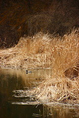 De paseo por el ro (Filo Schira) Tags: naturaleza nature ro river stream walk rivire paseo pato promenade campo campagne roseaux canard juncos juncal ruisseau joncs