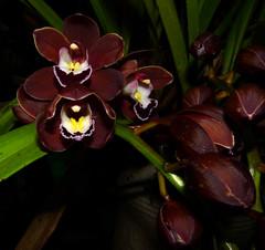 Cymbidium Mimi 'Mary Bea' hybrid orchid (nolehace) Tags: winter nolehace fz35 316 flower bloom plant cymbidium mimi mary bea hybrid orchid sanfrancisco