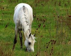 IMG_5357DPPgimp (marcel652016) Tags: cavalli animalidomestici