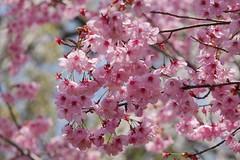 (nobuflickr) Tags: flower nature japan spring kyoto     awesomeblossoms   youkouzakura hiranojinjashrine prunusyoukouzakura 20160331p1030997
