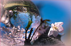 Turning my World Upside Down (Karen McQuilkin) Tags: flower macro nature glass leaves weather yard utah yahoo spring bluesky flowering cherrytrees blosooms karenmcquilkin turningmyworldupsidedown